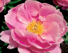 Klehm's Song Sparrow Farm and Nursery--PEONY--'Pink Platters'