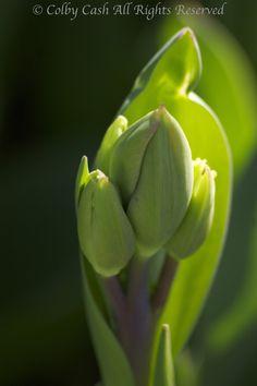 Hollandia Tulip Buds enjoying the Sun