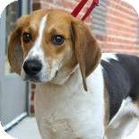 Richmond, VA - Beagle Mix. Meet Lennon a Dog for Adoption.