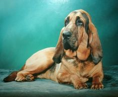 Bloodhound Puppies For Sale In Michigan | Top Dog Information #bloodhound puppies