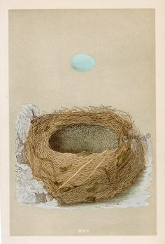 Francis Orpen Morris   'A Natural History of the Nests & Eggs of British Birds.' 1853     Alpine Warbler nest, and egg