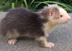 Baby ferret. its so cute im gonna die!!!