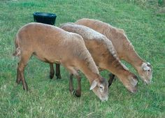 Katahdin Size: medium (but largest of the hair breeds) Appearance: various colors and patterns; short tail Fleece: hair in a range of textures, length and color; often coarse outer hairs and fine, woolly undercoat (which sheds in the summer) Breeding: long season Lambing rate: 200 percent, usually twins, sometimes triplets or quads Behavior: strong mothering instinct; docile; moderate flocking instinct; lambs are born vigorous and alert Use: meat Origin: United States Environment: adaptable…