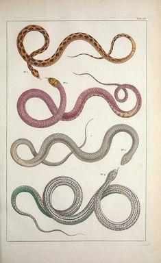1734-65 - v.2 - Cabinet de Seba ... or Locupletissimi rerum naturalium thesauri accurata descriptio, et iconibus artificiosissimis expressio, per universam physices... by albertus seba