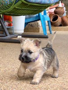 Terrier Mix Cairn Terrier- Trudy's little Tessa Cairn Terrier Puppies, Bull Terrier Dog, Skye Terrier, Terrier Mix, Baby Dogs, Dogs And Puppies, Doggies, I Love Dogs, Cute Dogs