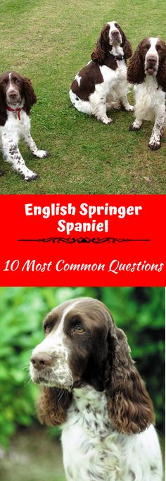 The English Springer Spaniel is a friendly, active, and often fun-loving dog. Most owners find this an easy breed to raise, great for enjoying during family activities, inside and outside. Spaniel Puppies For Sale, Spaniel Dog, Dogs And Puppies, Corgi Puppies, Doggies, Black Labrador Dog, Black Lab Puppies, Best Dogs For Families, Family Dogs