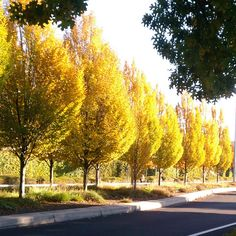 Eden By The Bay: Street Trees Through the Seasons - Columnar Hornbeam fall color