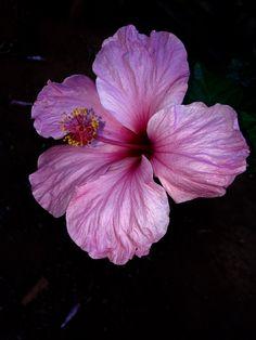 Flor margarida rosa