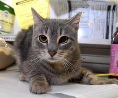 Adopt Andrew! http://www.adoptapet.com/pet/6852055-new-york-new-york-cat