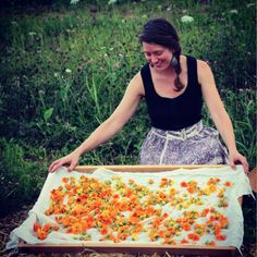 Calendula harvest - these edible, medicinal blooms flower from early summer all the way through late fall // from the Chestnut School of Herbal Medicine gardens