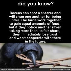 "did-you-kno: "" In an experiment, two ravens had to simultaneously pull the two ends of one rope to slide a platform with two pieces of cheese into reach. If only one of them pulled, the rope would..."