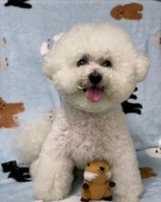 Cortes Poodle, Bichons, Bichon Frise, Cute Puppies, Baby Animals, Pitbulls, Teddy Bear, Marvel, Dogs