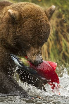 Alaskan Grizzly Bear plucks a random Sockeye Salmon from the river during the fall spawning season...just another victim in the bears plight to fatten up for a long, cold winter.