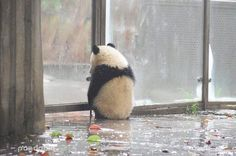 Waiting waiting and fucking waiting for my crazy panda Cute Funny Animals, Cute Baby Animals, Animals And Pets, Baby Pandas, Panda Lindo, Cute Babies, Funny Babies, Cute Panda Wallpaper, Panda Wallpapers
