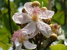 Floricultura Multiflora Fernandopolis: Urucum - Bela e Exótica