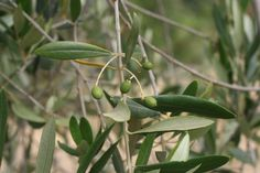 """These little green olives have about 4 more months to mature on the tree before we crush for our annual """"Olio Nuovo"""" release."""