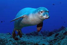The Hawaiian monk seal is the only seal native to Hawaii.[4]  These monk seals are a conservation reliant endangered species. The small popu...