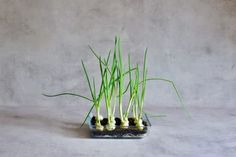 A super simple How-To for growing spring onions at home from food scraps, to re-use numerous times! Two methods that can both be done indoors, with little space and mess and no onion seeds necessary! Growing Spring Onions, Spring Breakers, Spring Nail Colors, Spring Awakening, Spring Rolls, Onion Pictures, Spring Flowers, Types Of Onions, Equinox