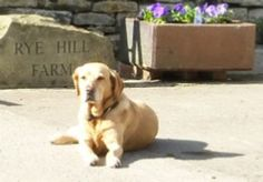Dog friendly Northumberland B & B, Self Catering Holiday Cottage, Campsite Barley Courage Labrador Rye Hill Farm Slaley Hexham