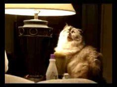 Cute Funny Himalayan Cat Sunbathing Under Lamp