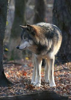 Timber Wolf by dlberek ~  At the Lakota Wolf Preserve, Columbia, NJ**
