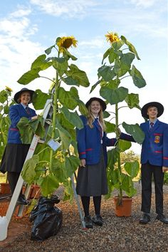 Downlands students Bonnie McLellan, Amy Wilson and Nicholas Darrow were part of the class that grew a 2.65m tall sunflower.