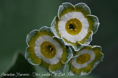 This years Auricula Favourites