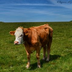 A Somerset cow