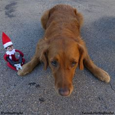 ​My worst nightmare #elfontheshelf #elfontheshelfideas #elfontheshelf2016 #elfontheshelf2015 #elf #dogs #funny