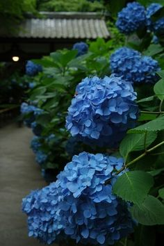 Ajisai (hydrangeas) can be seen everywhere in July ,the rainy season in Japan. These come in in different colors like blue,pink, white and purple.