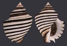 Opeatostoma pseudodon photo by Fabio Muci