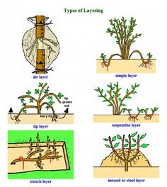 Layering Plants for Propagating New Plants in Your Garden - #for #Garden #in #Layering #New #Plants #Propagating #Your Bonsai Art, Bonsai Plants, Bonsai Garden, Garden Plants, Plantas Bonsai, Garden Types, Grafting Plants, Air Layering, Plant Science