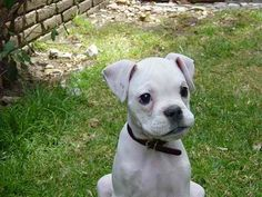 White Boxer pup.