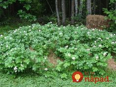 How To Grow Dirt-free Potatoes So put away the hoe and leave the tiller in the shed. Just grab your gloves Hay Bale Gardening, Container Gardening, Organic Gardening, Gardening Tips, Maine, Home Vegetable Garden, Grow Your Own Food, Planting Seeds, Permaculture
