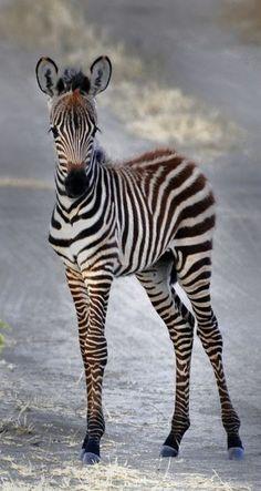ᙢᏋяⱴᏋįℓℓɛųᎦɛ Ꮳяєαɬįσи (Zebra Foal by youpidou) Zebras, Nature Animals, Animals And Pets, Strange Animals, Wild Animals, Beautiful Creatures, Animals Beautiful, Am I Cute, Tier Fotos
