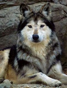 This wolf haves all the colours a wolf can have♥.♥
