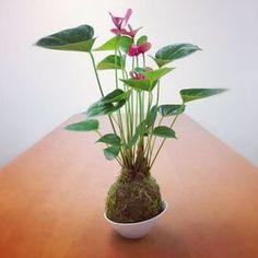 El arte de kokedama apareció en Japón en la década de 1990. Estas bolas de musgo en las que crecen las plantas tuvo un éxito inmediato en Japón y ahora empezamos a encontrarlas en Europa. Refinado… #kokedamas