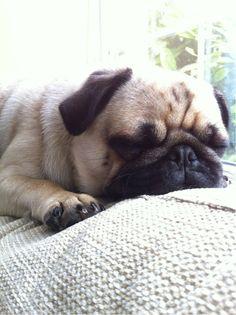 Pug life is soooo hard.