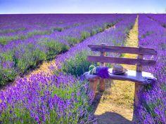 Bench in Lavender field Assaf Frank