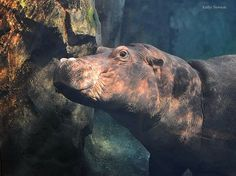 Our Pic of the Week is of Fiona from thejoyfulcamera.  Upload your Zoo photos to Facebook or Instagram with #cincyzoopic to be considered next week! Fiona The Hippo, Zoo Photos, Cincinnati Zoo, Hippopotamus, Next Week, Spotlight, Animals, Instagram, Facebook