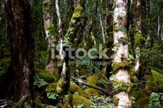 Kahurangi National Park Flora (Nothofagus menziesii) Royalty Free Stock Photo Beech Tree, Photo Tree, Image Now, Spring Time, New Zealand, Coastal, National Parks, Scenery, Southern