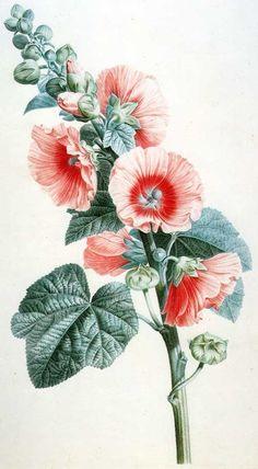 Pancrace Bessa: Alcea rosea. (1808 ):