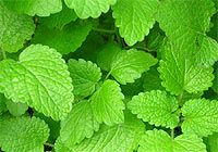Lemon Balm (Melissa officinalis)  Melissa officinalis benefits:        relaxing      depression and heart palpitations      calming and reducing tension headaches      assisting with over-active thyroid      reducing fevers      helping aches and pains      grief      tension      anxiety      peaceful sleep