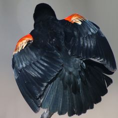 Red-winged Blackbird from the back