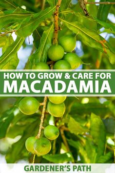 The macadamia tree adds statuesque height, spring blossoms, and evergreen shade to landscapes in USDA Hardiness Zones 9-11. It's best known for producing robust, gourmet-caliber nuts with smooth, sweet flesh. Learn to grow and maintain a macadamia tree now on Gardener's Path. #macadamianut #nuttrees #gardenerspath