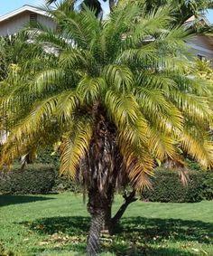 Phoenix roebelenii. También se le conoce popularmente como la Palmera pigmea y la Palmera datilera enana entre otros nombres. - http://www.floresyplantas.net/phoenix-roebelenii/
