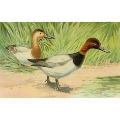 Commissioners of Fisheries NY 1899 Canvasback Duck Canvas Art - JL Ridgway (18 x 24)
