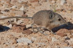This shrew only weighs an ounce but it's more like an elephant than a mouse |  via @Verge