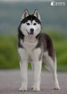 husky; the most beautiful dog in the world
