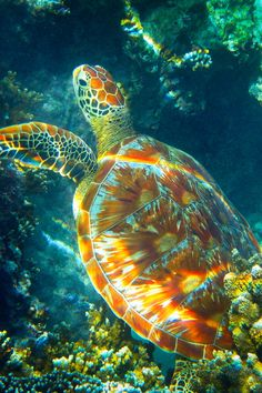 "heaven-ly-mind: "" Tortue a "" Weird Sea Creatures, Ocean Creatures, Beautiful Creatures, Save The Sea Turtles, Baby Sea Turtles, Sea Turtle Pictures, Turtle Habitat, Ocean Wallpaper, Turtle Painting"